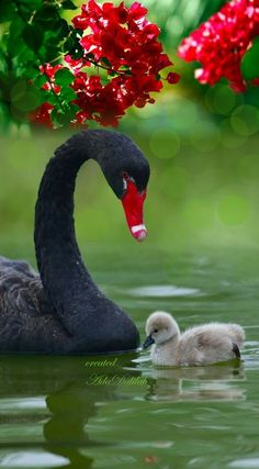 Gorgeous beautiful swan photo of birds. Beautiful Swan, Beautiful Birds, Animals Beautiful, Cute Baby Animals, Animals And Pets, Funny Animals, Exotic Birds, Colorful Birds, Exotic Flowers