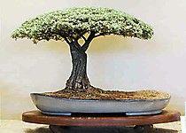 Pierneef Style Bonsai