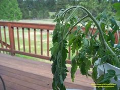 Dealing with plant wilt.