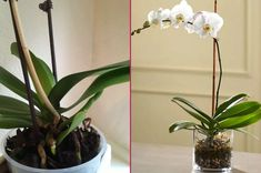 Blooming Your Orchids With Three Materials: How To Revive A Solan Orchid? Shabby French Chic, Shabby Chic Decor, French Cottage, French Country Style, French Country Decorating, All About Plants, Viking Tattoo Design, Sunflower Tattoo Design, Modern House Plans