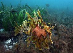 dragon fish Dragon Fish, Sea Dragon, Beautiful Ocean, Underwater Photography, First World, Dragons, Aquarium, Creatures, Horses