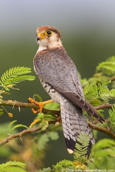 Red-necked Falcon (Falco chicquera) widespread resident in India as well as Sub-Saharan Africa