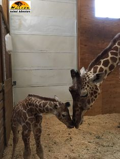 April the Giraffe and baby Taj Jungle Animals, Cute Baby Animals, Animals And Pets, Most Beautiful Animals, Beautiful Creatures, Giraffe Art, Curious Creatures, All About Animals, Mundo Animal