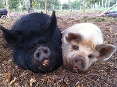 Kune kune pigs  Pirate and Milly