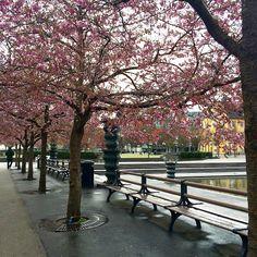 Stockholm cherry blossom explosion #kungsan