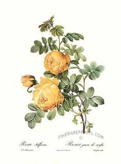 Antique print: picture of Yellow Rose (Rosa sulfurea) -
