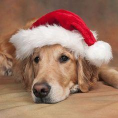 golden retriever in Santa hat