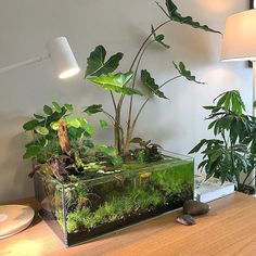 Pretty happy with my first attempt at an aquascape. No pumps, no heater, no filter. Just a glass tank and an ikea lamp. #aquascape #indoorpond #houseplants #indoorplants