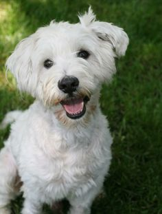 Schnozy - Poodle/West Highland White Terrier Westie mix - Male - 4 yrs old - The Rescue Train - Burbank, CA - http://www.therescuetrain.org/ - https://www.facebook.com/TheRescueTrain - http://www.adoptapet.com/pet/9099914-studio-city-california-poodle-miniature-mix - http://www.petfinder.com/petdetail/26503642/