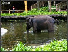 #elephant #singaporezoo