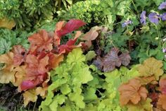 Heuchera Coral Bells - Shade gardens don't have to skimp on color. Heucheras come in a wide variety of colors—from chartreuse to red to purple to pink—and can be paired with other vibrant foliage plants like foamflower (Tiarella) or hosta varieties. Shade Loving Shrubs, Shade Shrubs, Shade Plants, Shade Perennials, Small Backyard Gardens, Backyard Garden Design, Backyard Ideas, Large Backyard, Shade Garden
