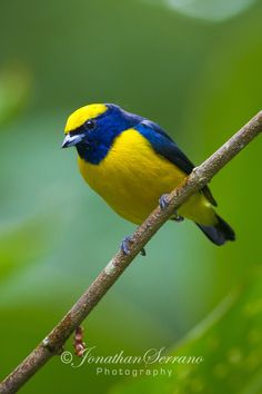 Yellow Crowned Euphonia by Jonathan Serrano on 500px
