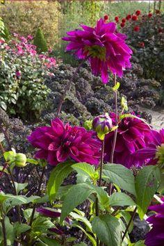 Dahlia.  In the Cutting Garden