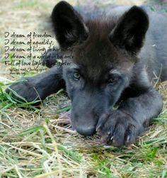 Still say it would be awesome to have a black wolf pup lol look like they would be quite the best friend.