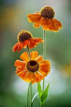 heleniums by Mandy Disher on Flickr