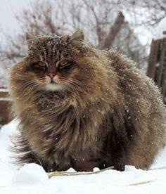 15 Fluffiest Kitties in the World