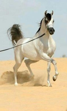 Gorgeous platinum grey Arabian horse!