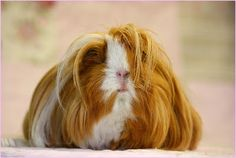 The Guinea Pig Daily: Sarah  Maybe she's born with it maybe it's Maybeline.