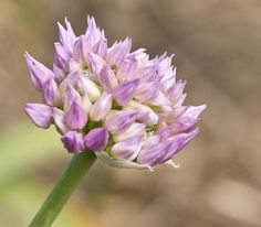 Gärtnerei Naturwuchs -- Allium -- Laucharten (H) -- Allium carolinianum…