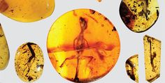 """scienceisbeauty: """" World's oldest chameleon found in amber fossil """" About 100 million years ago an infant lizard's life was cut short when it crawled into a sticky situation. The early chameleon was creeping through the ancient tropics of present-day. Baby Lizards, Baby Chameleon, Amber Fossils, Spiegel Online, Tropical Forest, Jurassic Park, Ancient History, Southeast Asia, Geology"""