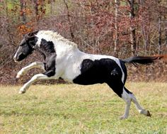 American Curly Horse. One of Three Feathers Native Curly Horses' herd.