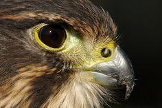 naTIVE N.Z. BIRD pics - Google Search