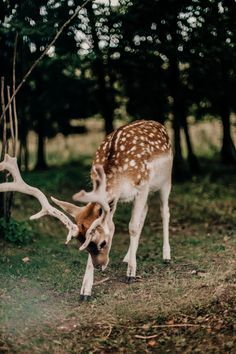 White tailed deer, fawn, deer and animal HD photo by Daiga Ellaby ( on Unsplash Beautiful Creatures, Animals Beautiful, Baby Animals, Cute Animals, Tier Fotos, Mundo Animal, Woodland Creatures, Forest Animals, Bambi