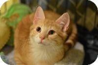 Madison, NJ - Domestic Shorthair. Meet Otto, a kitten for adoption. http://www.adoptapet.com/pet/10556106-madison-new-jersey-kitten