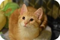 Madison, NJ - Domestic Shorthair. Meet Otto, a kitten for adoption. http://www.adoptapet.com/pet/10556106-madison-new-jersey-kitten