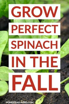 Spinach is the perfect leafy green to grow in your fall garden. The shorter daylight hours and cooler weather keeps this vegetable sweet and tasting great! So use these easy tips to grow spinach in yo Fall Vegetables, Container Gardening Vegetables, Vegetable Gardening, Growing Spinach, Florida Gardening, Square Foot Gardening, Companion Planting, Seed Starting, Gardens