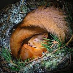 ed squirrel curled up in a nest box in the Cairngorms, How adorable 🐿 Photo b. ed squirrel curled up in a nest box in the Cairngorms, How adorable 🐿 Photo b. ed squirrel curled up in a nest box in the Cairngorms, How adorable 🐿 Photo by Nature Animals, Animals And Pets, Baby Animals, Funny Animals, Cute Animals, Wildlife Nature, Wildlife Photography, Animal Photography, Beautiful Creatures