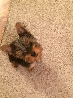 Teacup Yorkie, Yorkie Puppy, Puppies And Kitties, Dogs, Pomsky, Yorkies, Yorkshire, Puppy Love, Kitty