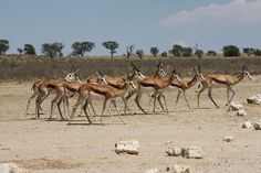 Springbok at Grootkolk Camp in the Kgalagadi Transfrontier Park, Northern Cape, South Africa