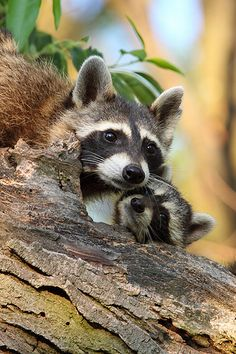 Raccoons Tenderness by TheNatureDude, via Flickr