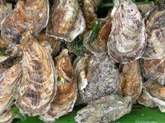 In deutschen Meeresgebieten ist die europäische Auster nicht mehr zu finden, sie wurden im letzten Jahrhundert massiv abgefischt. Die käuflichen Austern (Sylter Royal) sind Zuchttiere, hier haben sich die Japanischen Sorten durchgesetzt.  Nun sollen die seltenen europäischen Schalentieren wieder in ihren heimischen Gewässer angesiedelt werden. In Schottland, dem Loch-Ryan gibt es eine große Austernfischerei, die Tiere sollen in Beuteln zunächst an Flussmündungen mit Gezeiten ausgesiedelt…