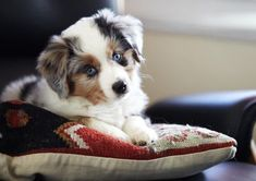 blue merle miniature aussie ~T~This puppy looks just like Piper our new puppy born except she has one blue eye and one brown eye. What a doll. Aussie Puppies, Cute Puppies, Cute Dogs, Dogs And Puppies, Doggies, Mini Aussie Puppy, Miniature Aussie, Baby Animals, Cute Animals