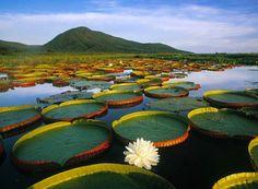 Water Lily, Pantanal Matogrossense National Park, Brazil