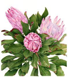 King Proteas by Anne Hayes, via Behance Art And Illustration, Floral Illustrations, Protea Art, Botanical Flowers, Botanical Prints, Art Floral, Watercolor And Ink, Watercolor Flowers, Botanical Drawings