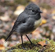 The New Zealand robin or toutouwai (a. South Island Robin) is a sparrow-sized bird found only in New Zealand where it has the status of a protected endemic species. Cute Birds, Small Birds, Little Birds, Colorful Birds, Animals And Pets, Cute Animals, Little Bird Tattoos, Robin, Reptiles And Amphibians