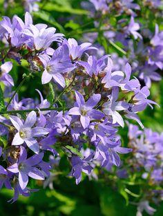 Campanula lactiflora 'Prichard's Variety' - Große Dolden-Glockenblume  Diese Liebhabersorte bildetvon Juni bis August auf ca. 60 - 80 cm langen, leichtüberhängendenStängeln große, hell-violettblaue, glockenförmige...