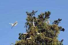 Garças brancas no Passeio Público.  Foto: Joel Rocha/SMCS.