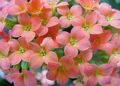 Salmon #Kakanchia  -  #flower #garden Flower Plants, Planting Flowers, Buy Seeds, Perfect Strangers, Amazing Flowers, Organic Gardening, Bloom, Home And Garden, Simple