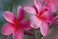 | :: . ♥ . . ✿⊱╮. ★ . . #pink #plumeria . . ★ .╭✿⊰ ♥ . . ♥ ☽★☀☆☾ . . ≫ ∙ ∙ + #frangipani #feminine #pinkplumeria #tropical #flowers #tropicalflowers #maui #hawaii #macro #photography | ≪☾☼✧ ☮ ✧☼☽ : ॐ  ☾   © S h a r o n M a u | p h o t o g r a p h y   http://sharonmau.pixels.com  https://twitter.com/sharonmau   https://www.pinterest.com/sharonmau  https://plus.google.com/+SharonMau