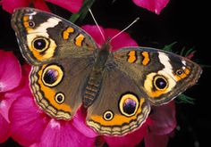 butterflies of florida pictures - Google Search