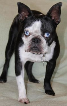 Elmer is great with other dogs and cats too. He does well with children and is a big love bug. He is about 14 pounds and about 3-4 years old. He is on the smaller side and we believe he is a mini Boston Terrier mixed with French Bulldog. http://www.doggielife.com/elmer/dogs/9VUGZR #dogs #frenchbulldogs