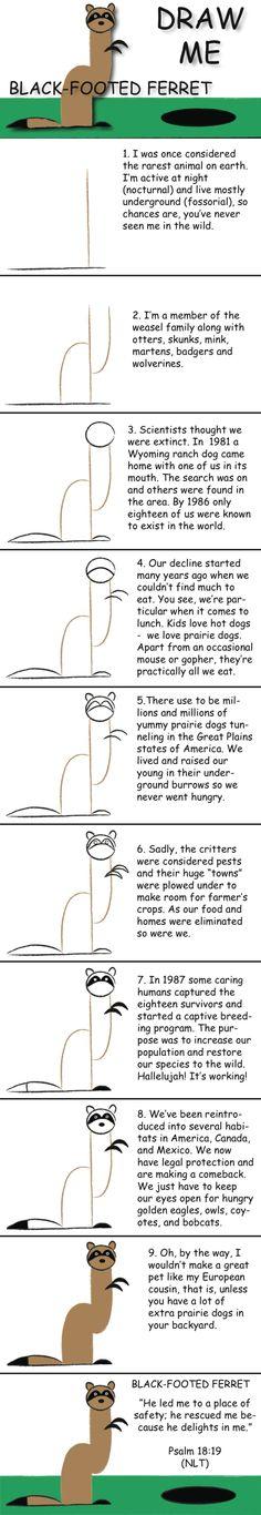 draw ferret
