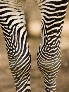 Closeup of a Grevys Zebra's Legs Photographic Print by Tim Laman at Art.com