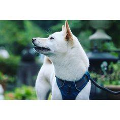 【shiroshibahaku】さんのInstagramをピンしています。 《森の音に耳を澄ます🐶👂🌿 #柴犬 #白柴犬 #山 #森 #音 #shiba #shiroshiba #shibainu #dog #mountain #sound #outdoor #camp #アウトドア #キャンプ》