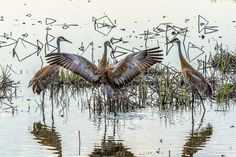 Sandhill Crane Dance Photo by Michael Knapstein -- National Geographic Your Shot