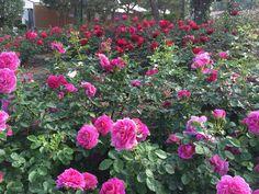 Princess Grace Rose Garden -  Fontvieille, Monaco